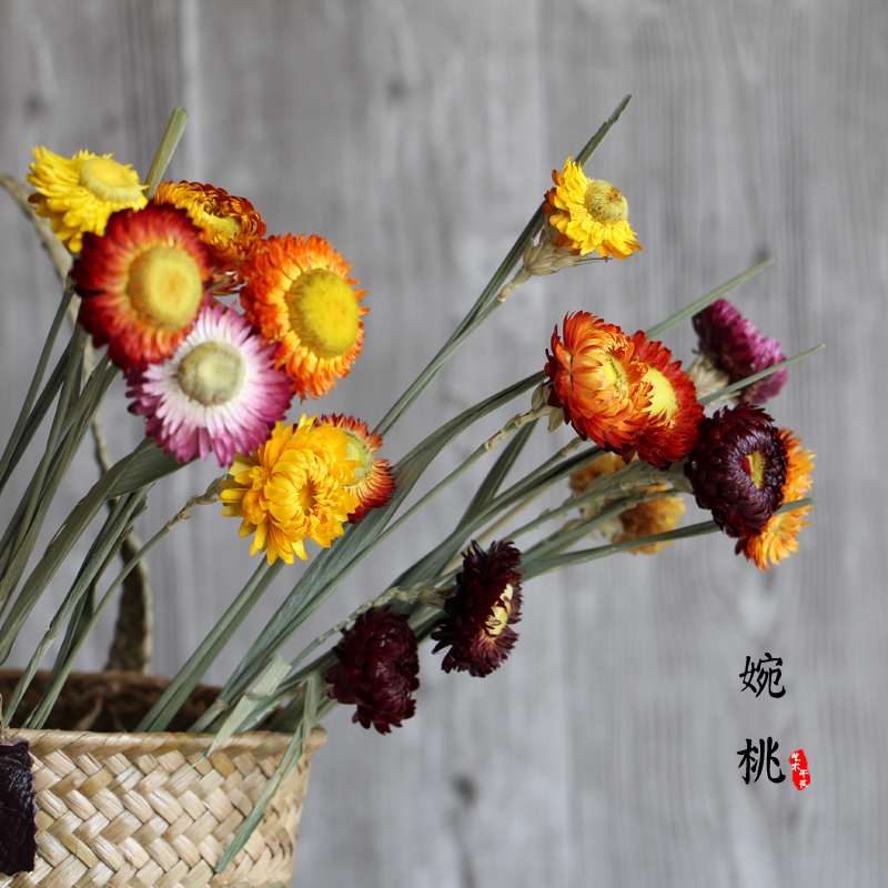 【麦秆菊】天然干花七彩菊家居摆设菊花永生花拍照道具自然小雏菊