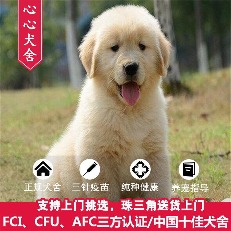 Guangzhou purebred golden retriever pet live puppy golden retriever guide dog golden retriever