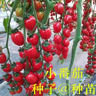 播高产 千禧小番茄种子农友樱桃圣女果粉红西红柿种籽种苗四季 包邮