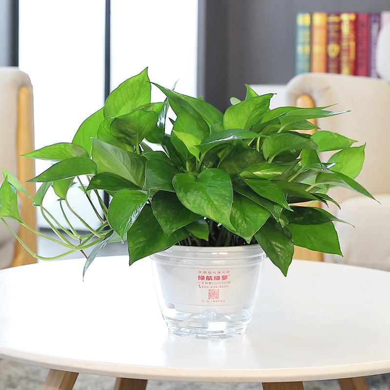 绿航绿萝 除甲醛植物绿萝盆栽绿色植物客厅室内盆栽