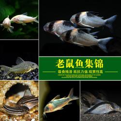 老鼠鱼工具鱼淡水底栖黑线小猴除藻清洁清道夫垃圾胡子大帆异形鱼