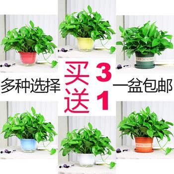 盆栽室内水培养吸除甲醛垂吊兰绿萝