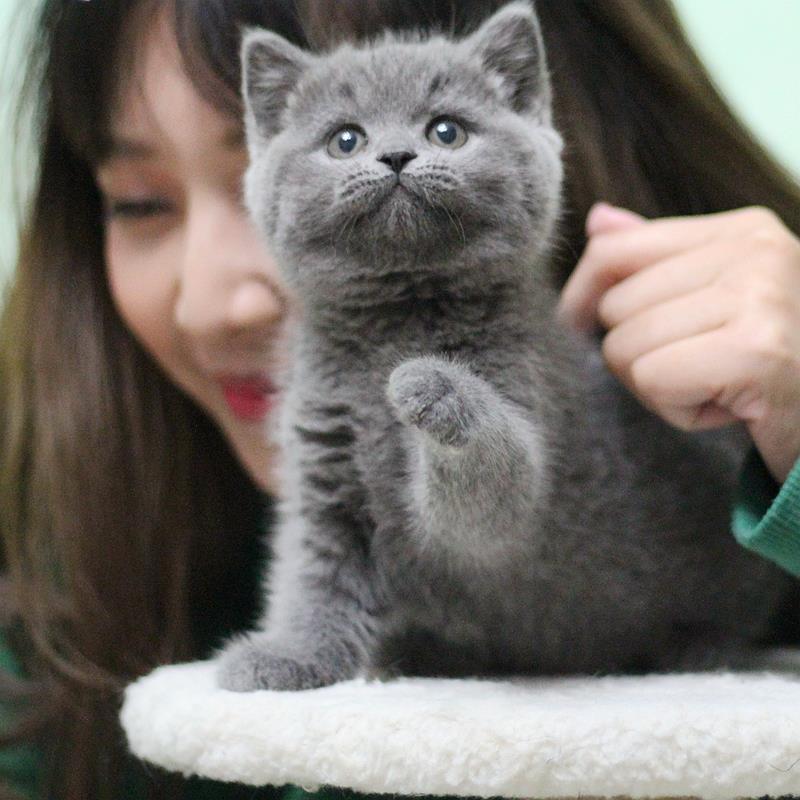 純種藍貓幼貓活體英短藍白折耳貓銀漸層英國短毛貓小幼崽寵物貓咪