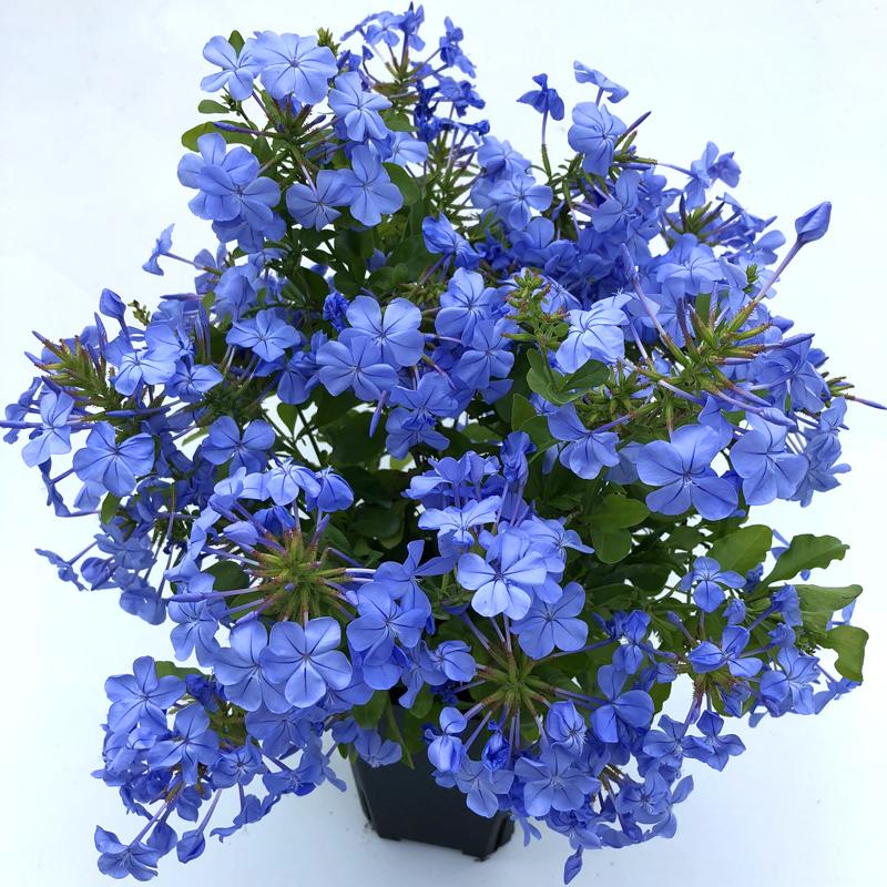 仲老师月季庭院藤本爬藤花园植物 蓝雪花苗 多季开花阳台盆栽花卉