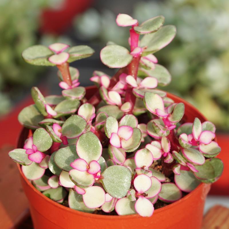 AK多肉花卉 雅乐之舞 多肉植物 办公室内绿植盆栽花卉创意绿植