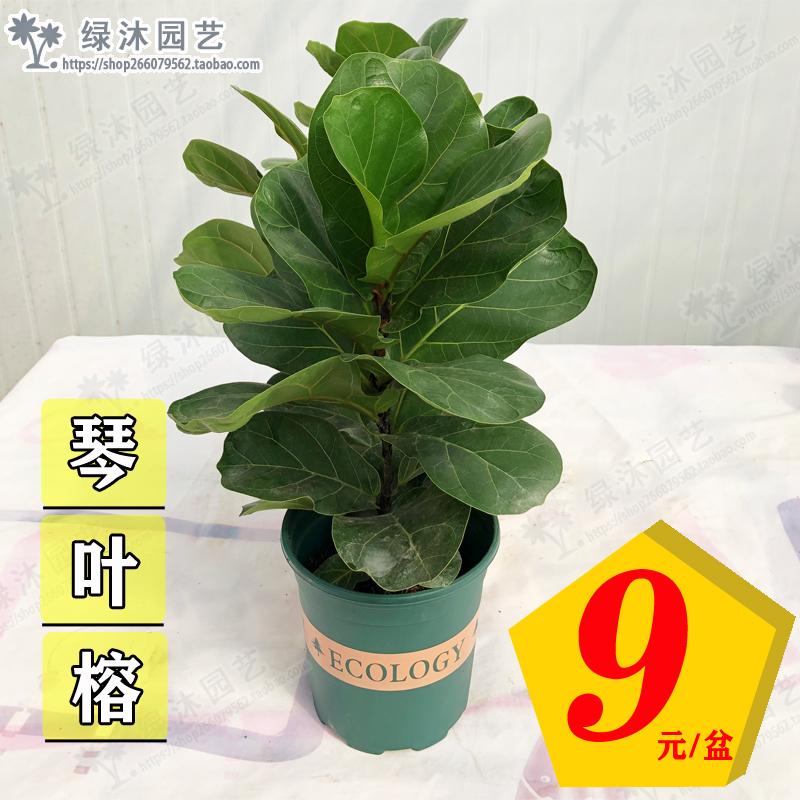 琴叶榕盆栽植物室内办公室绿植四季常青大叶植物花卉小盆栽琴叶榕