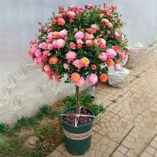 Garden potted ground grafting tree rose flower seedling stump rose tree seedling flower potted balcony flowering all year round