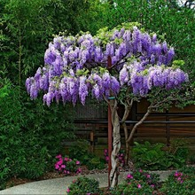 Wisteria multiflora seedlings climbing climbing plants on roof potted garden wall courtyard