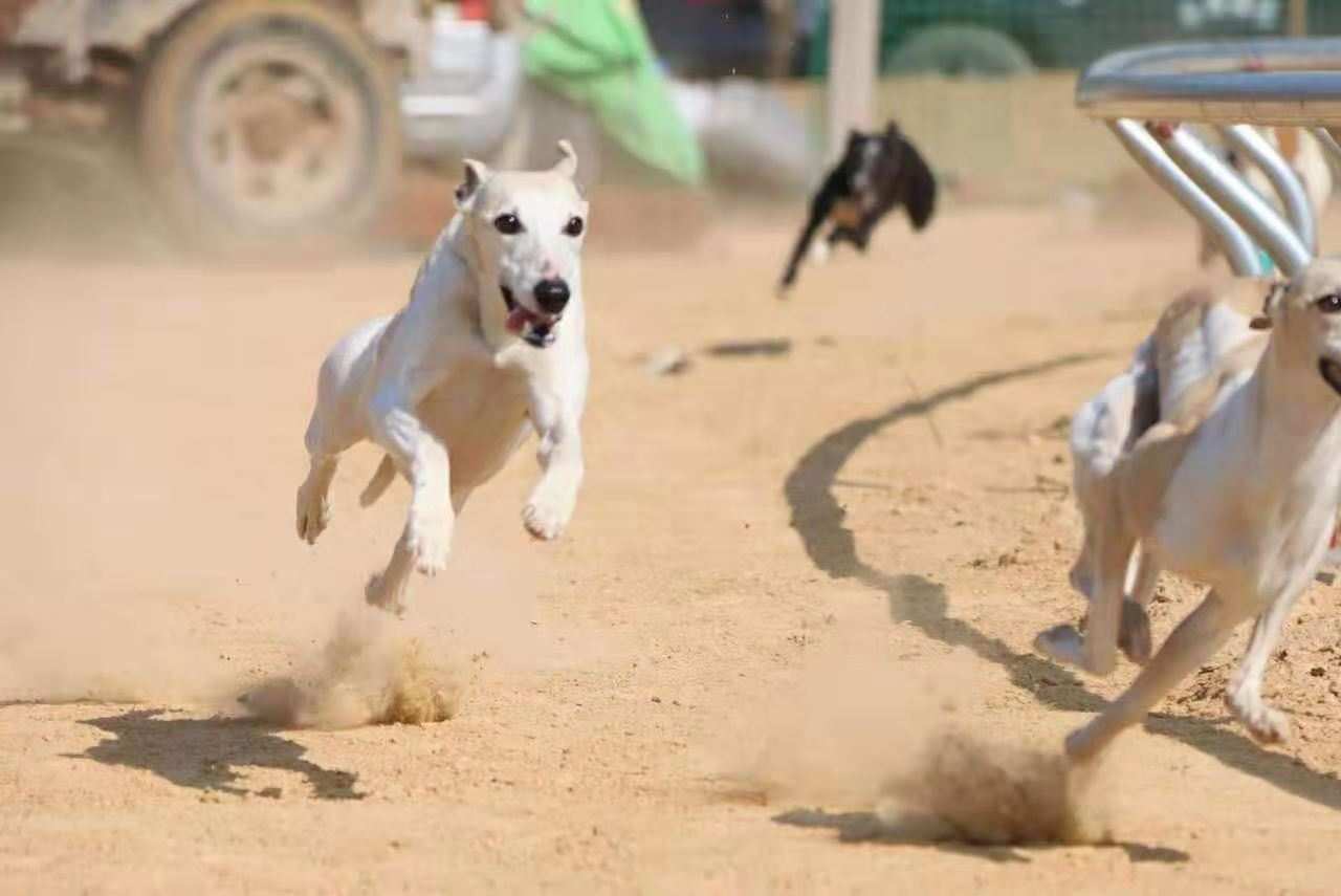 Special dog food, beef and fresh meat for fast racing dogs