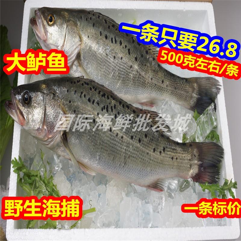 新鲜鲈鱼 野生海捕大鲈鱼 海鲜水产海鱼 鱼类 每条500克左右