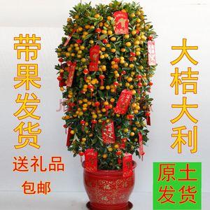金桔盆栽年宵花卉果树四季观赏小金橘盆景小金桔年桔室内大型盆栽