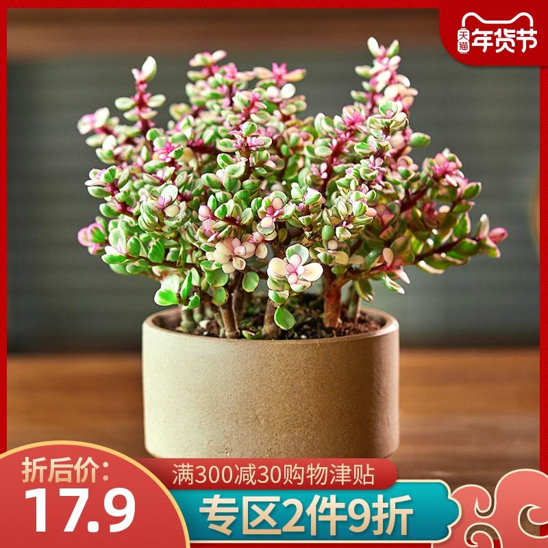 金枝玉叶花卉金玉满堂观花植物室内