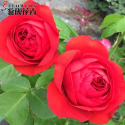 日月红苹果月季小中大苗丰勤大花灌木红月季四季开花庭院阳台盆栽
