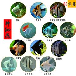 神仙燕鱼埃及蓝魔鬼活体墨燕子鱼繁殖草缸热带观赏鱼长鳍群游宠物