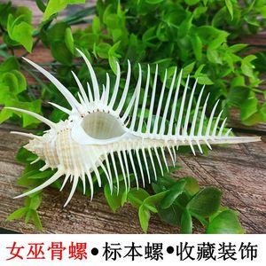 天然贝壳海螺女巫骨螺维纳斯骨骨螺