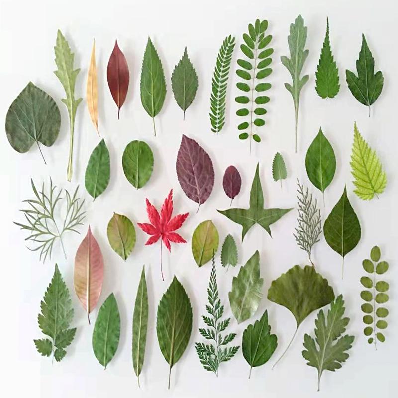 天然干树叶diy手工装饰材料干叶子干花材料包绿色真树叶标本植物