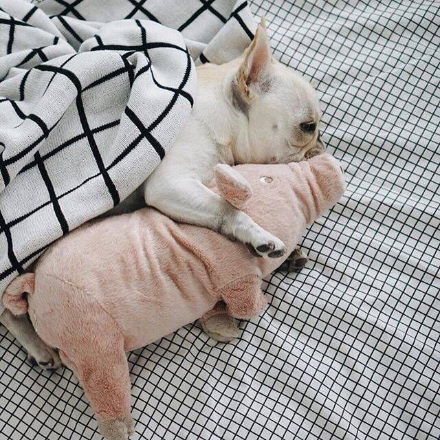 Франция борьба ложиться спать спутник ноги свинья франция борьба корова собака топорище база тедди английский борьба соотношение медведь домашнее животное собака плюш игрушка