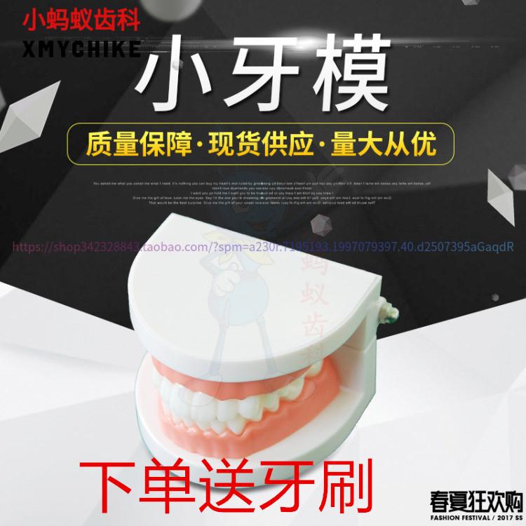 牙科模型 口腔材料齿科幼教教学练习用仿真简单假牙 1比1牙齿模型