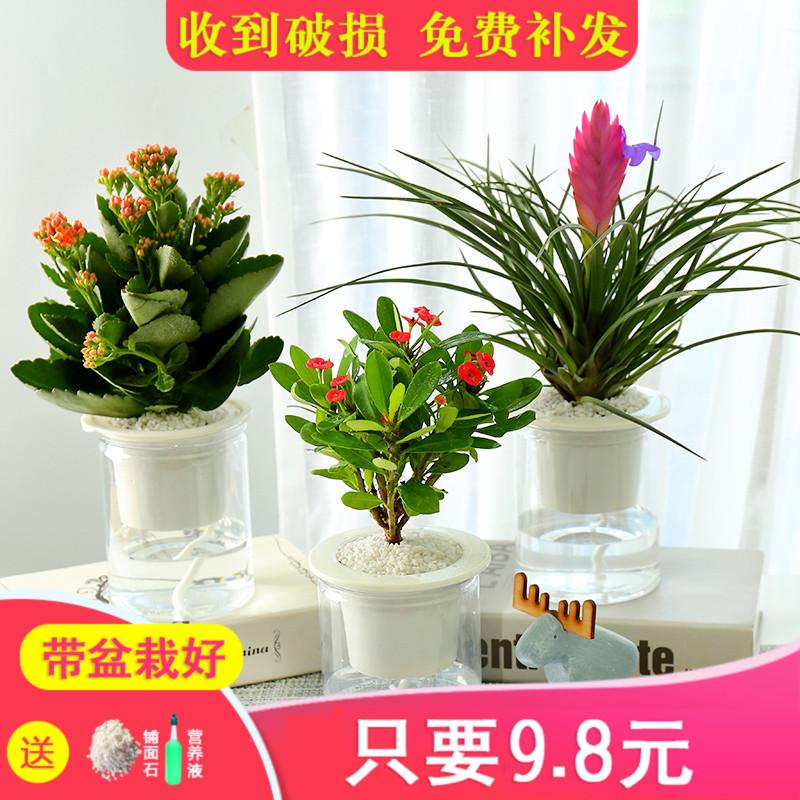 发财树绿植花卉虎皮兰盆栽植物水培绿萝富贵竹室内好养栀子花包邮