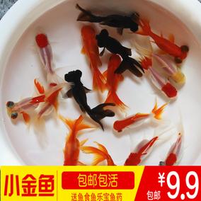 金魚活體淡水頂紅蝶尾獅頭觀賞魚