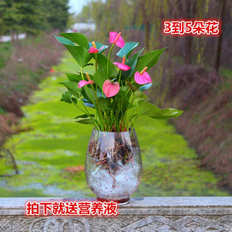 新品綠植 粉掌苗帶花 室內盆栽植物 水培紅掌綠蘿 土培發財樹包郵