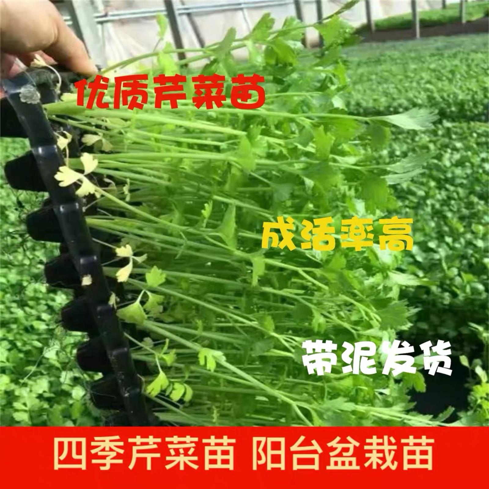 优质四季芹菜苗香芹苗山芹菜苗60棵可食用菜苗阳台盆栽种菜蔬菜苗