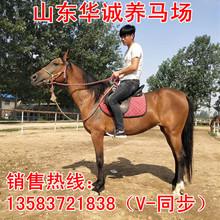 風光明媚な馬エクウスに乗ってライブ馬は良い生活に乗っモンゴルの馬を訓練半血馬を売りますマレーシア