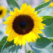 观花蔬果种子矮向日葵食用向日葵种子春播庭院易种活观赏花卉花籽