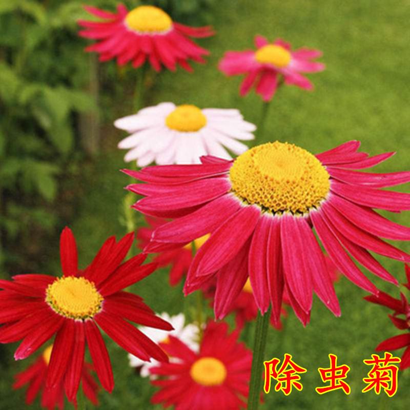 除虫菊种子驱蚊花草种子杀虫菊花四季种易开花不断阳台盆栽花草籽