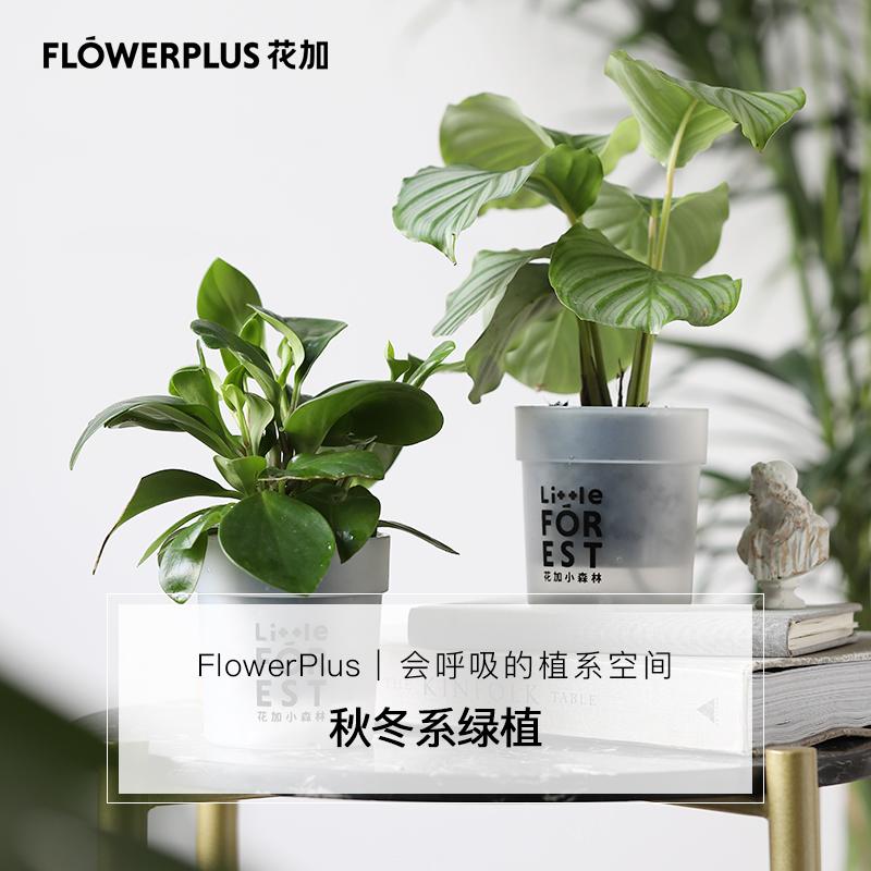 FlowerPlus花加家用秋冬款家居绿植新手植物室内美化盆栽摆件包邮