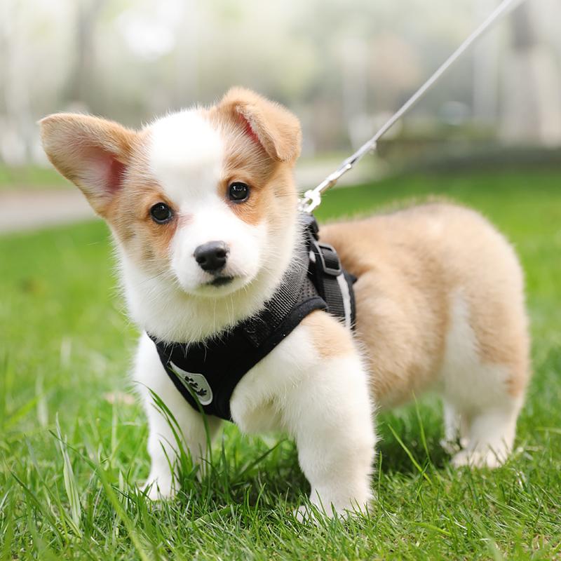 背心式小型犬柯基幼犬遛狗绳胸背带