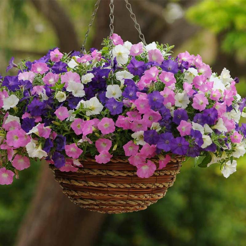 进口混色垂吊矮牵牛夏季室内阳台盆栽花种子四季易种爬藤植物包邮