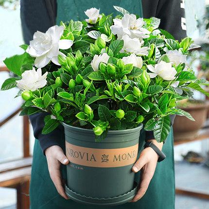四季大叶栀子花盆栽植物花卉室内大树苗枝枝花栀子花带花苞浓香型