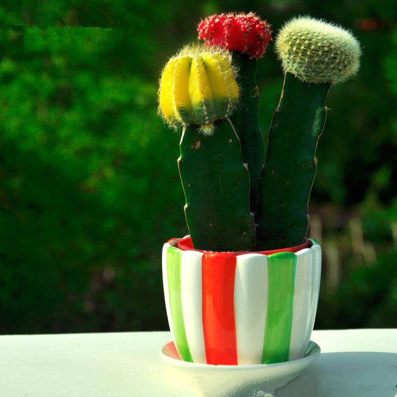 新品多肉植物彩色三组合仙人球花苗10-13新券