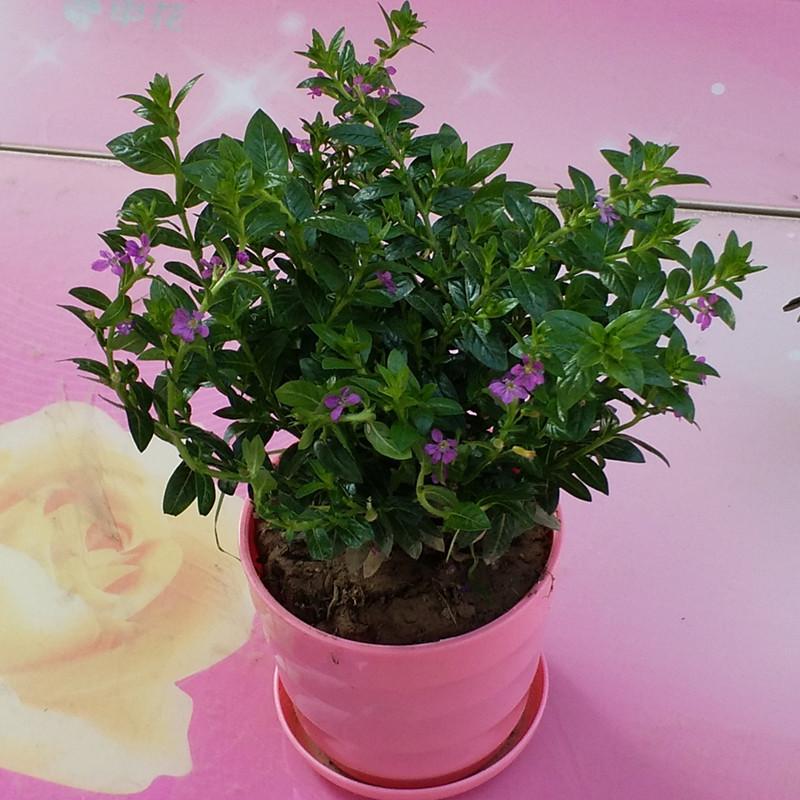 观叶海棠彩叶植物花栀子花海棠盆栽花卉室内观花植物四季开花阳台
