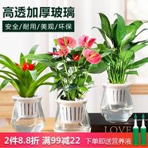 红掌盆栽室内水培水养开花植物办公室四季好养绿植白掌一帆风顺