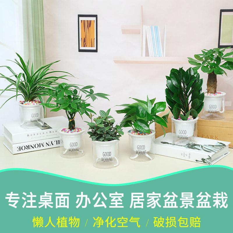 发财树桌面办公室内绿植小盆栽花卉绿萝水培文竹栀子花除甲醛植物