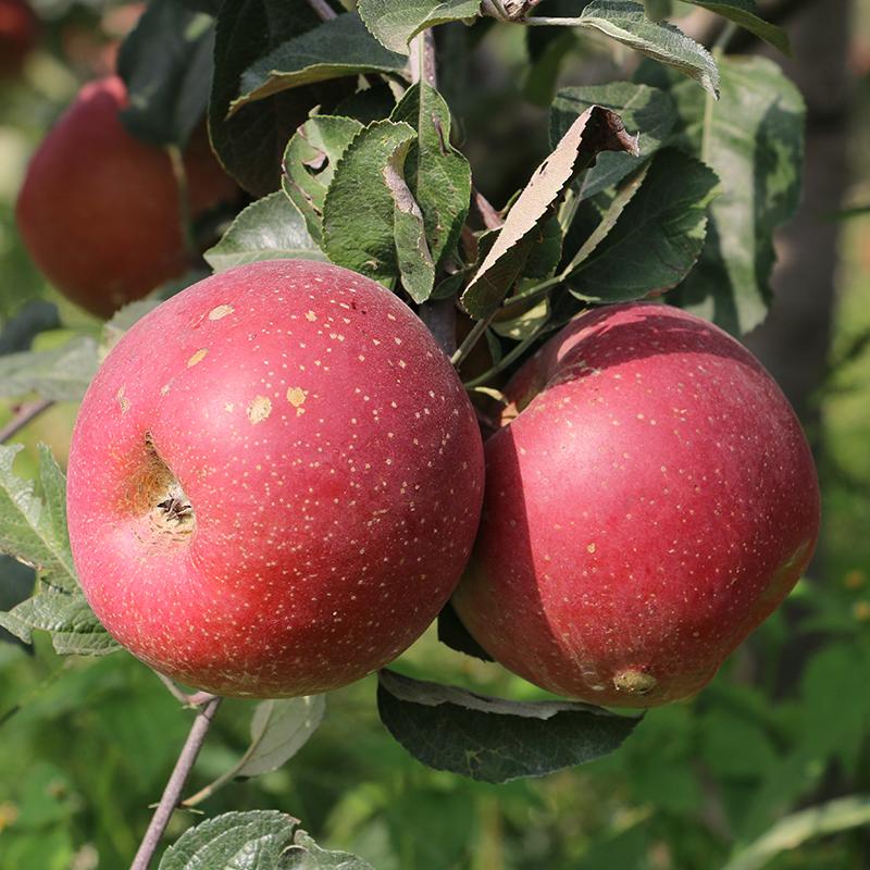 云南昭通冰糖心丑苹果10斤 新鲜水果 非烟台栖霞洛川富士苹果包邮