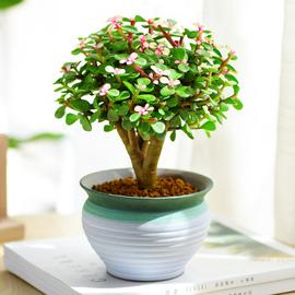 多肉植物金枝玉叶盆栽老桩花卉盆景稀有品种含盆雅乐之舞室内绿植