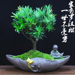 罗汉松盆景办公室内盆栽好养植物客厅四季常青净化空气桌面小绿植