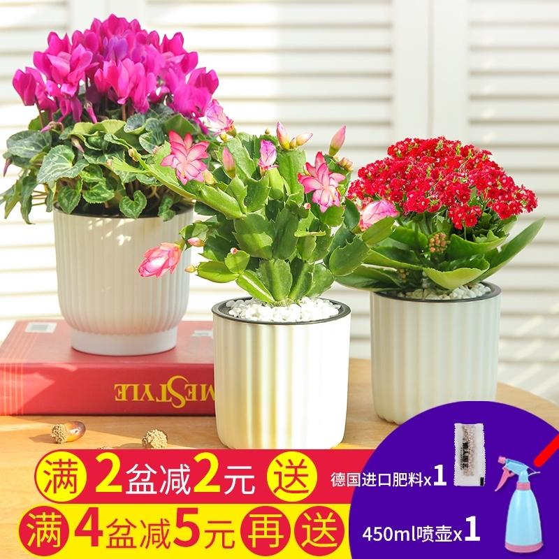 长寿花玫瑰花卉观花植物室内四季开花金枝玉叶水培好养绿植盆栽