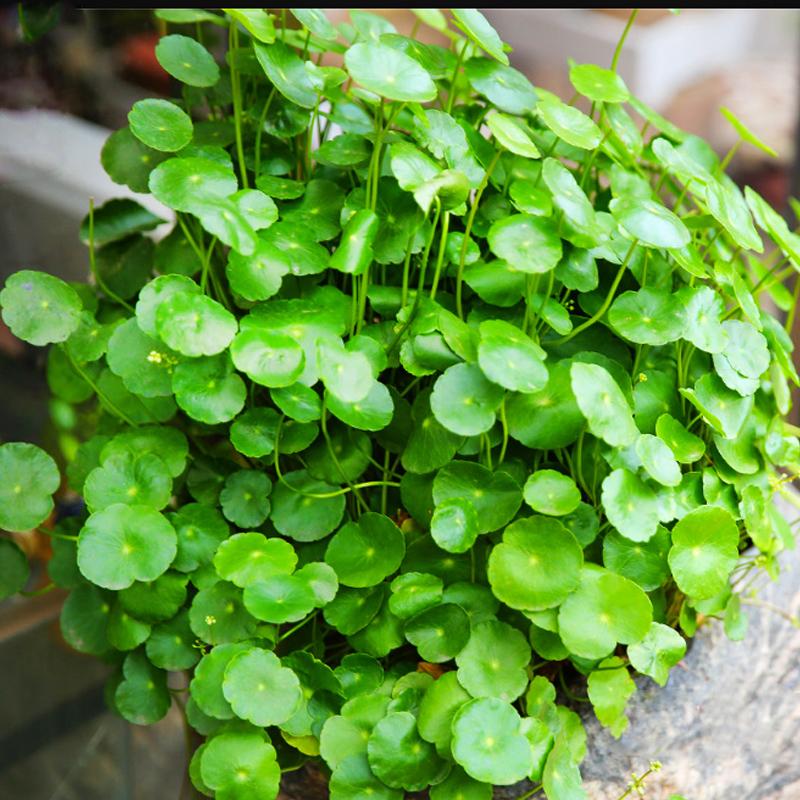 室内盆栽水养花卉铜钱草水培植物根茎含花盆套餐四季绿植办公室