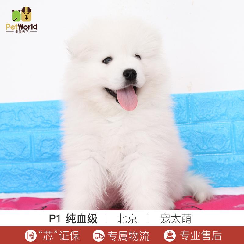 宠爱天下 宠太萌 萨摩耶犬活体纯种犬宠物狗狗白色萨摩幼犬中型犬