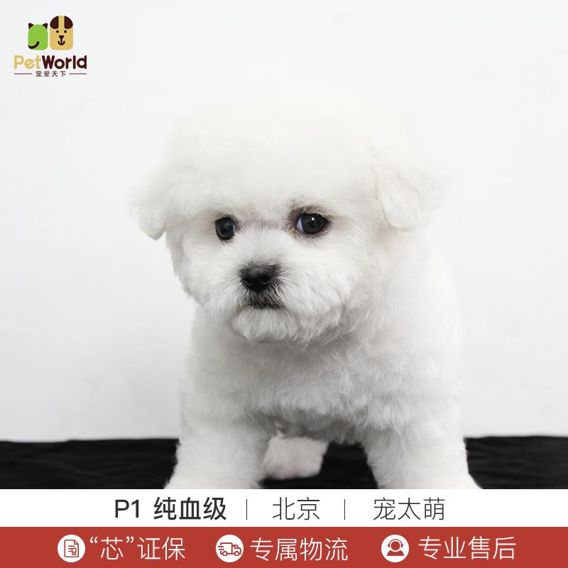 宠爱天下 宠太萌 比熊犬活体纯种犬宠物狗活体白色比熊幼犬狗狗