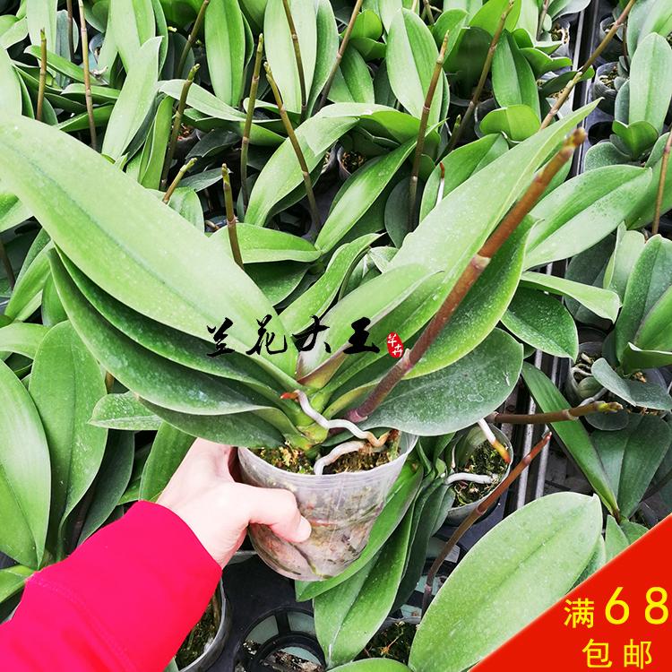 蝴蝶兰花苗大苗盆栽植物抽梗苗带花剑成熟大苗兰花盆栽保证对版