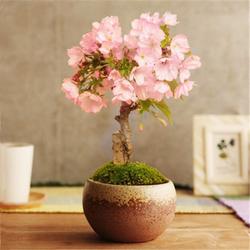 室内四季樱花苗盆栽  樱花树苗盆栽樱花苗庭院种植 樱花盆景苗木