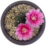 居家办公 绯花玉开花的仙人球盆栽 券后8.6元起包邮