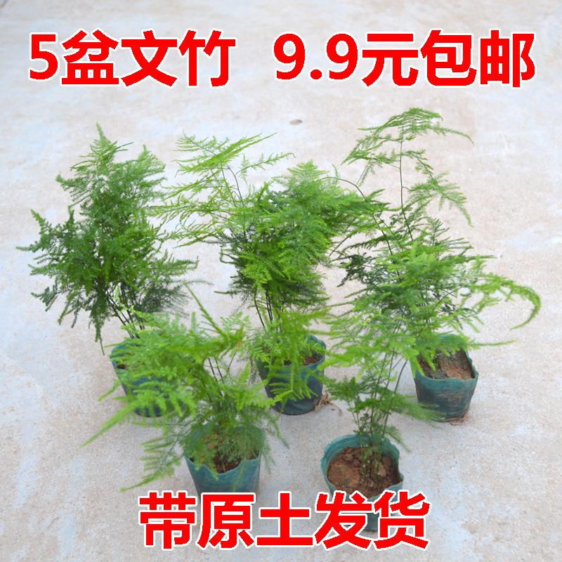 文竹盆栽桌面绿植花卉盆景净化空气四季常青植物防辐射吸甲醛包邮