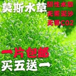 散装莫斯鱼缸淡水活体植物前景草坪阴性慕斯新手水草鹿角苔三角莫
