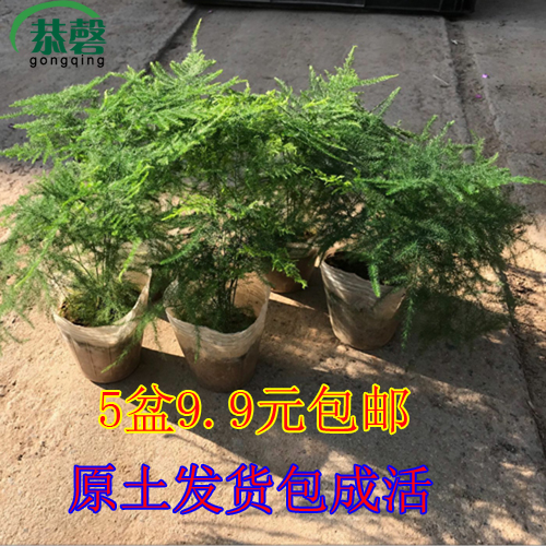 文竹小盆栽绿色植物桌面净化空气观叶室内盆?#28304;?#30406;盆景花卉包成活